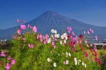 富士山をバックに気持ち良く咲くコスモス