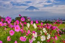 霞み模様の富士山とコスモスの風景