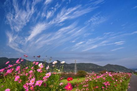 上空を流れる綺麗な薄雲とコスモス