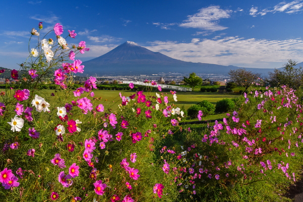 雁堤のコスモスと冠雪の富士山