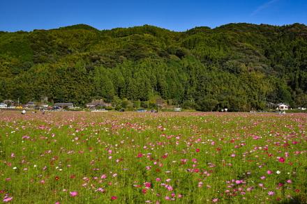 会場の近くにある広大なコスモス畑
