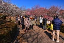 観梅客で賑わう岩本山公園梅園