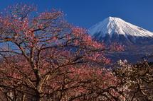 見頃の梅と富士山の風景