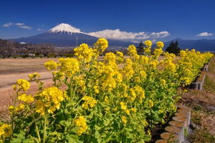 雁堤の菜の花と富士山の風景