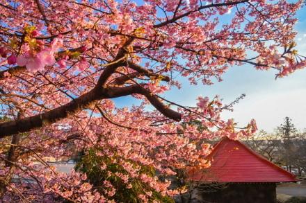 咲き誇る早咲き桜と本堂の風景