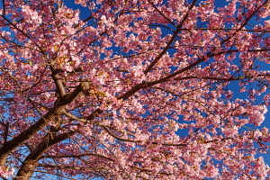 青空に映える早咲き桜