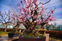 梅の盆栽の展示