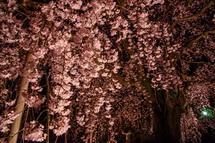 本妙寺のしだれ桜ライトアップ