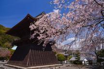 実相寺のしだれ桜