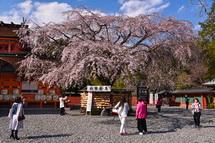 富士山本宮浅間大社拝殿脇のしだれ桜