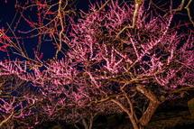 梅のライトアップ風景