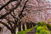 潤井川龍巌淵の桜