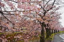 吉原小潤井川沿いの桜