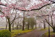 広見公園の桜