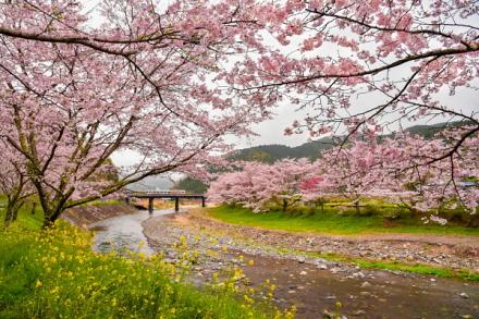 稲瀬川沿いの桜