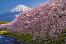 潤井川龍巌淵の桜と富士山