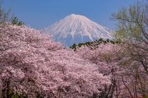 岩本山公園の桜と富士山