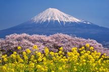 雁堤の桜と富士山