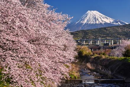 須津川沿いの桜と富士山