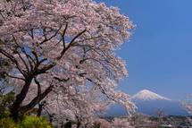 興徳寺の桜と富士山