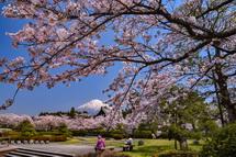 大石寺の桜と富士山