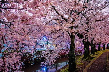 吉原小潤井川沿いの夜桜