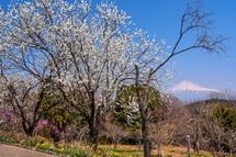 見頃の花桃と富士山