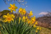 咲き誇る黄水仙と富士山