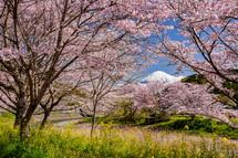 見頃の時に撮影した桜と富士山の風景