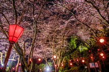 夜桜ライトアップされた蒲原御殿山