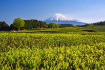 大淵笹場からの新茶と富士山の風景