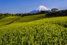 富士市今宮からの新茶と富士山の風景