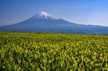 岩本山の丘陵地からの新茶と富士山の風景