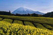 富士宮市杉田からの新茶と富士山の風景