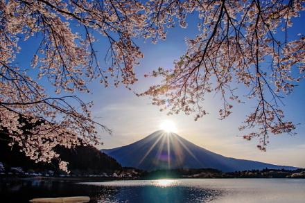 咲き誇る桜越しのダイヤモンド富士も撮れた