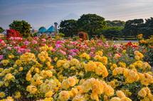 富士市中央公園のバラ