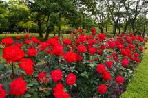 広見公園のバラ
