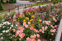 岩本山公園のバラ