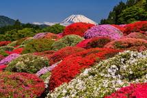 咲き誇るツツジと富士山の風景