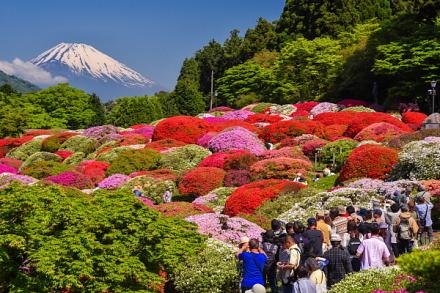 咲き誇るツツジと富士山を楽しむ人々