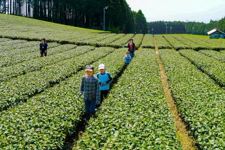 茶畑をかけっこする子供たち