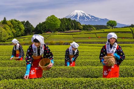 富士山をバックに茶摘みする茶娘