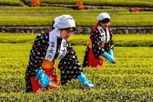 美しい新茶と茶娘の風景