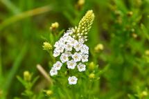 湿原に咲くサワトラノオの花