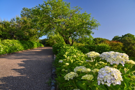 咲き始めた岩本山公園のあじさい