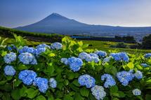 徐々に開花が進むあじさいと富士山の風景