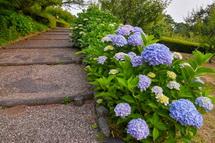 園路と開花が進むあじさいの風景