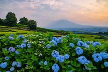 見頃の岩本山茶畑脇のあじさいとうっすら富士山