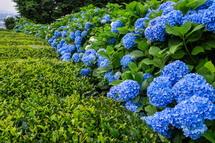 二番茶の芽吹きと咲き誇る青色あじさい