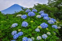 あじさい越しに見る富士山